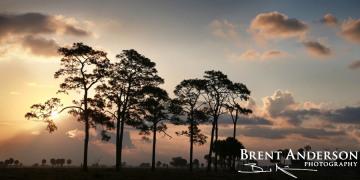 Pine Tree Sunrise - Okeechobee, FL