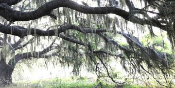 Live Oak Sunrise - Kissimmee River, FL