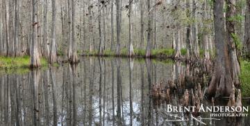 Cypress Strand - Reedy Creek, Osceola, FL