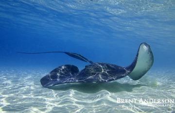 Bahamas Stingray - Exumas Island, Bahamas