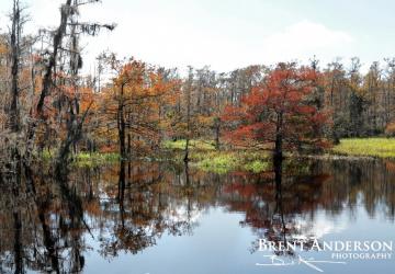 Autumn Cypress 2 - Fish Eating Creek, Glades County, FL