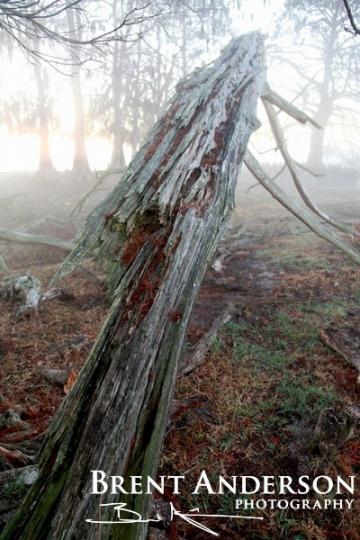 Broken Cypress - Kissimmee River, Okeechobee, FL