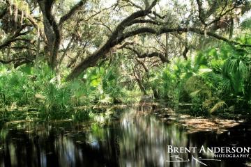 Flooded Oaks 1 - Kissimmee River, Okeechobee, FL