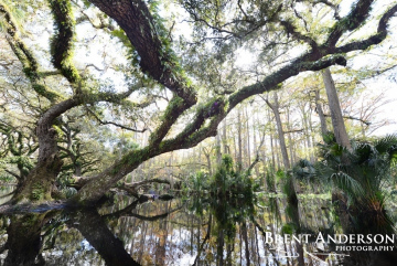 Flooded Oaks 2 - Fish Eating Creek, Glades County, FL