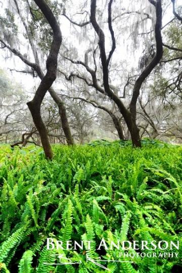 Forest of Ferns - Kissimmee River, Okeechobee, FL