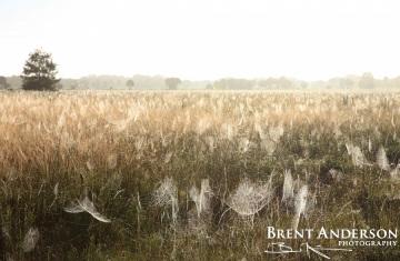 Fields of Webs - Kissimmee River, Highlands, FL