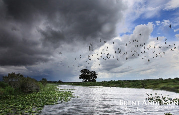 Fleeing the Storm - Kissimmee River, Highlands, FL