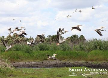 Pelicans Take Flight - Kissimmee River, Okeechobee, FL