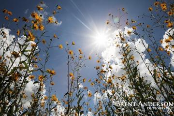 54.-Swamp-Sunflower-1-web