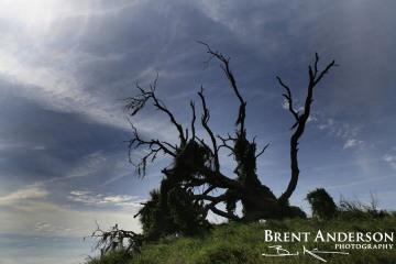 66.-Broken-Oak