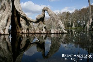 Ancient Cypress 1 - Lake Istokpoga, Highlands, FL