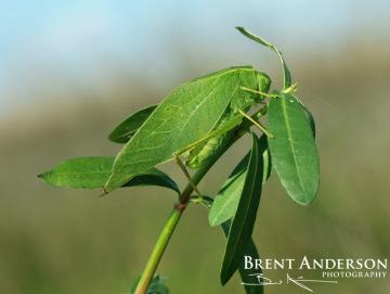 Camouflage-Florida-Katydid