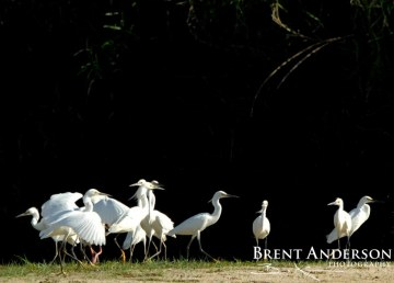 Egrets-on-the-Prowl