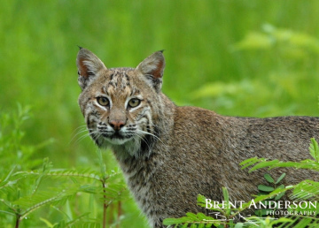 Florida-Bobcat