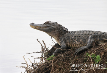 Gator-on-Watch