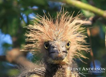 Good-Hair-Day-Tri-colored-Heron