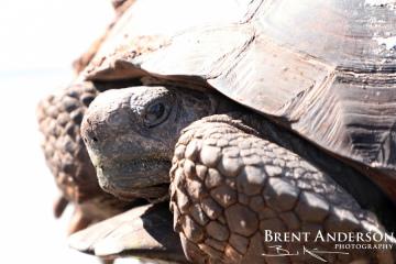 Gopher Tortoise  - Kissimme River, FL