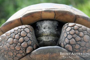 Home-Sweet-Home-Gopher-Tortoise