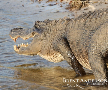 Oversize-Gator