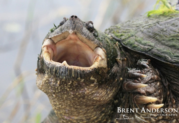 Portrait-of-a-Florida-Snapping-Turtle