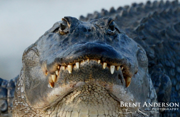 Portrait-of-a-Gator