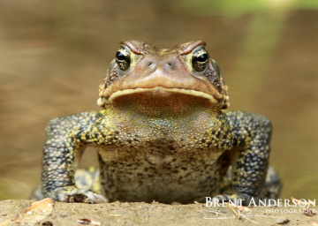 Portrait-of-an-American-Toad