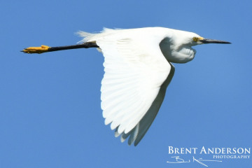 Snowy Egret Flight - Kissimmee River, FL
