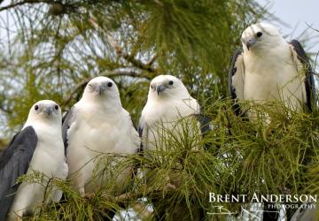 Swallowtail-Kites