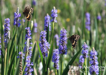 Swallowtail-on-Pickerel